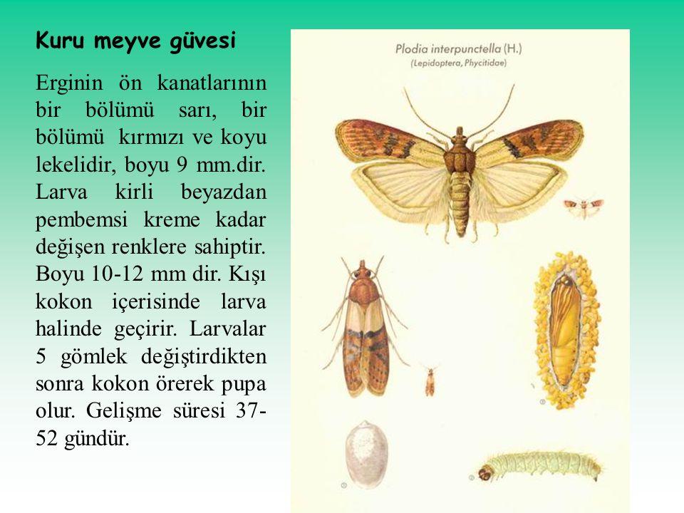 Kuru meyve güvesi Erginin ön kanatlarının bir bölümü sarı, bir bölümü kırmızı ve koyu lekelidir, boyu 9 mm.dir. Larva kirli beyazdan pembemsi kreme ka