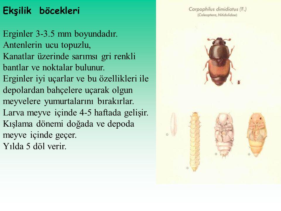 Ekşilik böcekleri Erginler 3-3.5 mm boyundadır. Antenlerin ucu topuzlu, Kanatlar üzerinde sarımsı gri renkli bantlar ve noktalar bulunur. Erginler iyi