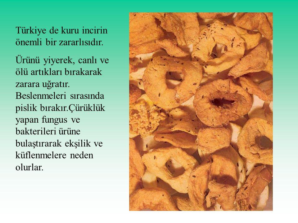 Türkiye de kuru incirin önemli bir zararlısıdır. Ürünü yiyerek, canlı ve ölü artıkları bırakarak zarara uğratır. Beslenmeleri sırasında pislik bırakır