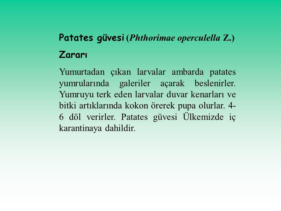 Patates güvesi (Phthorimae operculella Z.) Zararı Yumurtadan çıkan larvalar ambarda patates yumrularında galeriler açarak beslenirler. Yumruyu terk ed