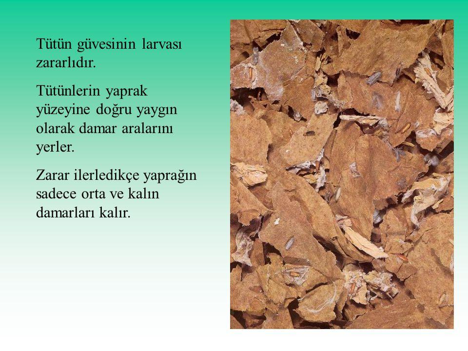 Tütün güvesinin larvası zararlıdır. Tütünlerin yaprak yüzeyine doğru yaygın olarak damar aralarını yerler. Zarar ilerledikçe yaprağın sadece orta ve k
