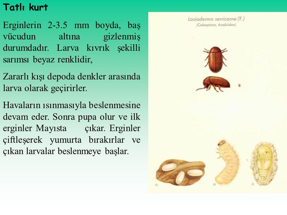 Tatlı kurt Erginlerin 2-3.5 mm boyda, baş vücudun altına gizlenmiş durumdadır. Larva kıvrık şekilli sarımsı beyaz renklidir, Zararlı kışı depoda denkl