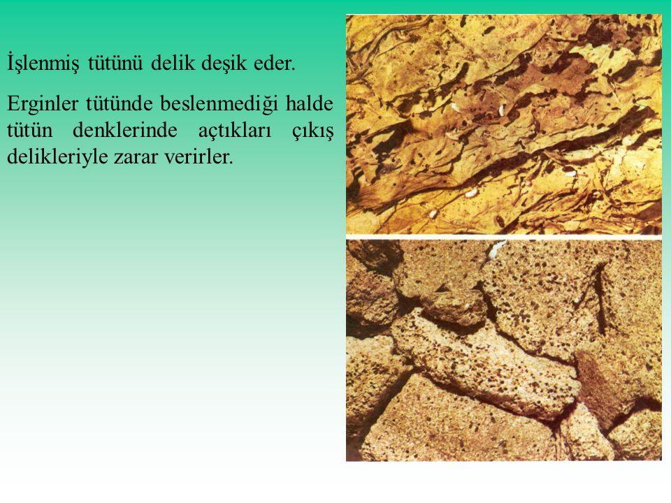 İşlenmiş tütünü delik deşik eder. Erginler tütünde beslenmediği halde tütün denklerinde açtıkları çıkış delikleriyle zarar verirler.