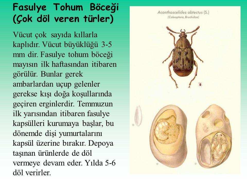 Fasulye Tohum Böceği (Çok döl veren türler) Vücut çok sayıda kıllarla kaplıdır. Vücut büyüklüğü 3-5 mm dir. Fasulye tohum böceği mayısın ilk haftasınd