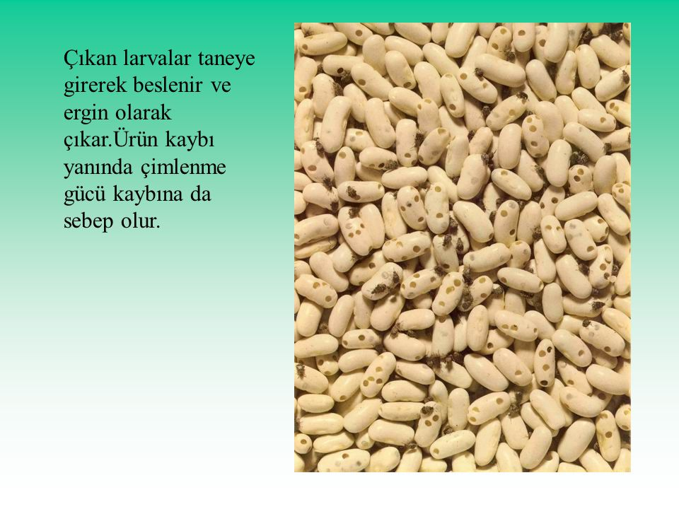 Çıkan larvalar taneye girerek beslenir ve ergin olarak çıkar.Ürün kaybı yanında çimlenme gücü kaybına da sebep olur.