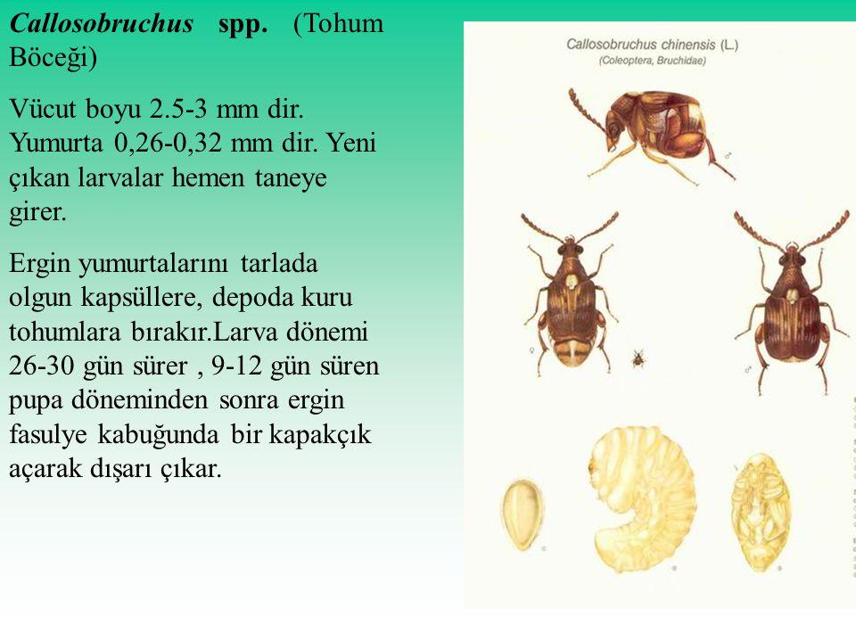 Callosobruchus spp. (Tohum Böceği) Vücut boyu 2.5-3 mm dir. Yumurta 0,26-0,32 mm dir. Yeni çıkan larvalar hemen taneye girer. Ergin yumurtalarını tarl