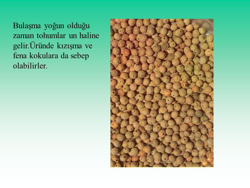 Bulaşma yoğun olduğu zaman tohumlar un haline gelir.Üründe kızışma ve fena kokulara da sebep olabilirler.