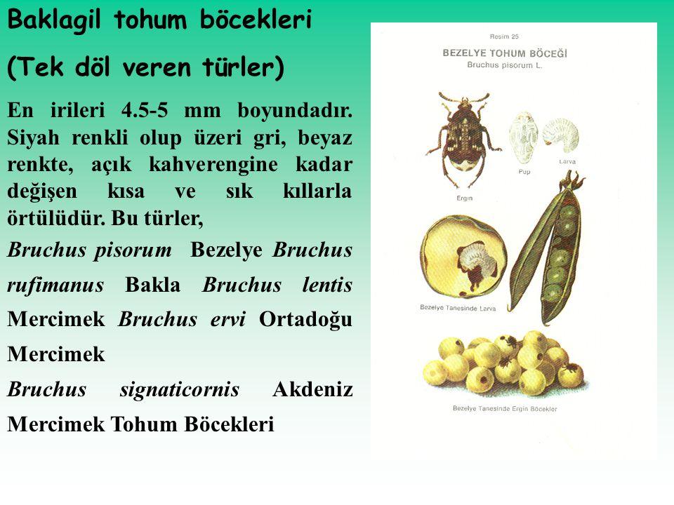Baklagil tohum böcekleri (Tek döl veren türler) En irileri 4.5-5 mm boyundadır. Siyah renkli olup üzeri gri, beyaz renkte, açık kahverengine kadar değ