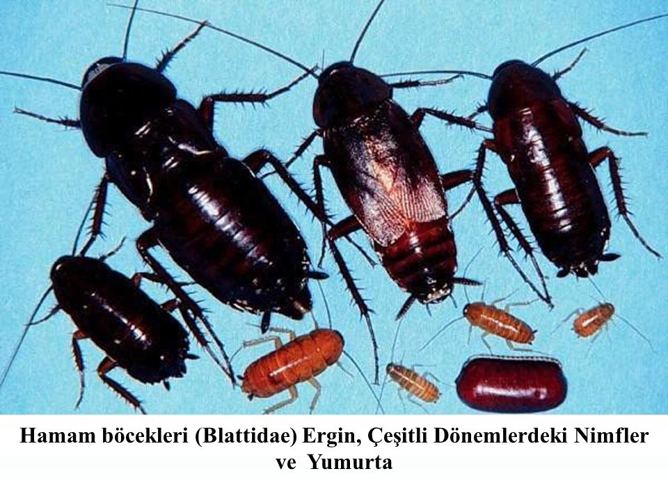 Hamam böcekleri (Blattidae) Ergin, Çeşitli Dönemlerdeki Nimfler ve Yumurta