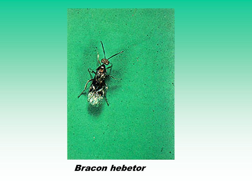 Bracon hebetor