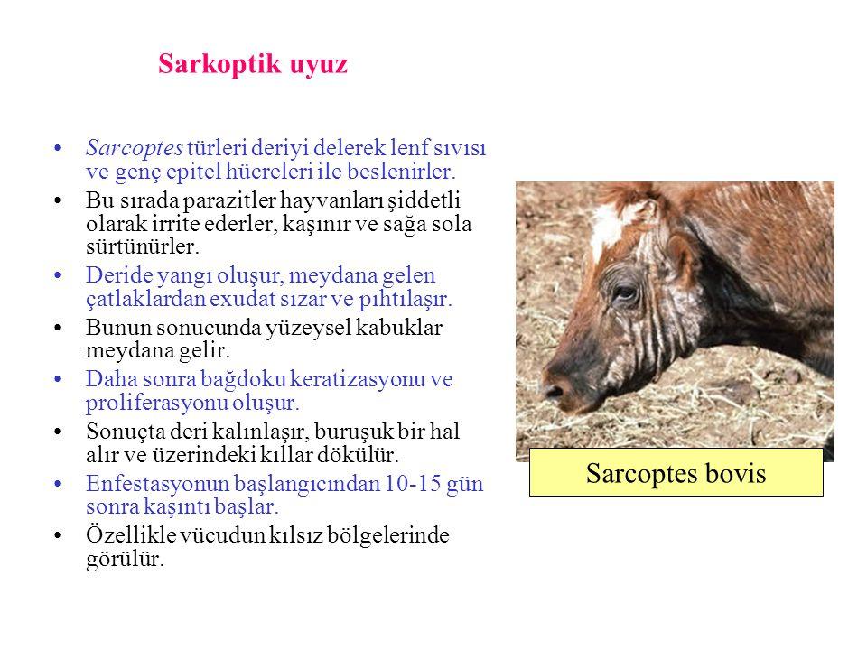Sarkoptik uyuz Sarcoptes türleri deriyi delerek lenf sıvısı ve genç epitel hücreleri ile beslenirler. Bu sırada parazitler hayvanları şiddetli olarak