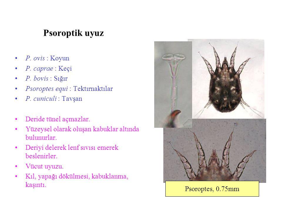 Psoroptik uyuz P. ovis : Koyun P. caprae : Keçi P. bovis : Sığır Psoroptes equi : Tektırnaktılar P. cuniculi : Tavşan Deride tünel açmazlar. Yüzeysel