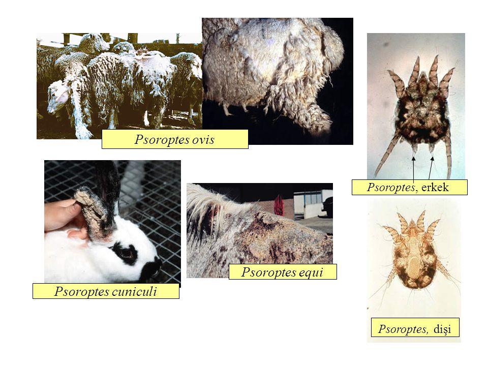 Psoroptes ovis Psoroptes equi Psoroptes cuniculi Psoroptes, erkek Psoroptes, dişi