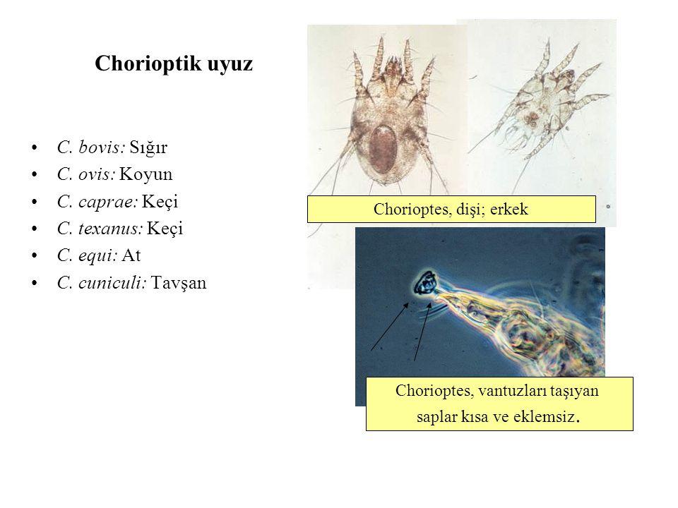 Chorioptik uyuz C. bovis: Sığır C. ovis: Koyun C. caprae: Keçi C. texanus: Keçi C. equi: At C. cuniculi: Tavşan Chorioptes, vantuzları taşıyan saplar