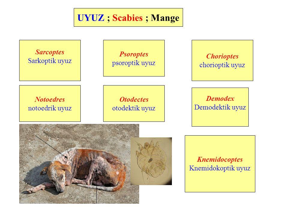 Uyuz etiyoloji Demodicidae Demodex Prostigmatik akarlarAstigmatik akarlar Sarcoptidae Sarcoptes Notoedres Psoroptidae Psoroptes Chorioptes Otodectes Knemidocoptidae Knemidocoptes