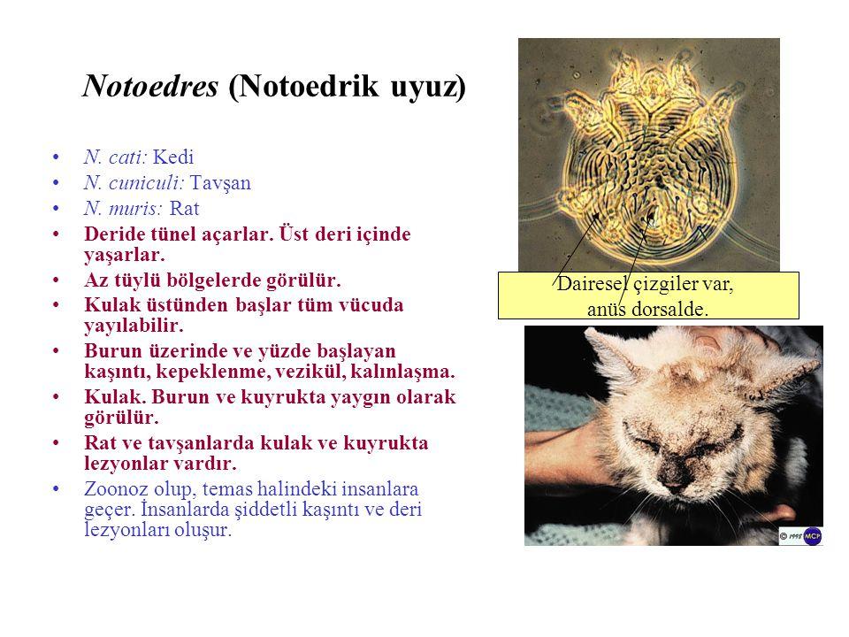 Notoedres (Notoedrik uyuz) N. cati: Kedi N. cuniculi: Tavşan N. muris: Rat Deride tünel açarlar. Üst deri içinde yaşarlar. Az tüylü bölgelerde görülür