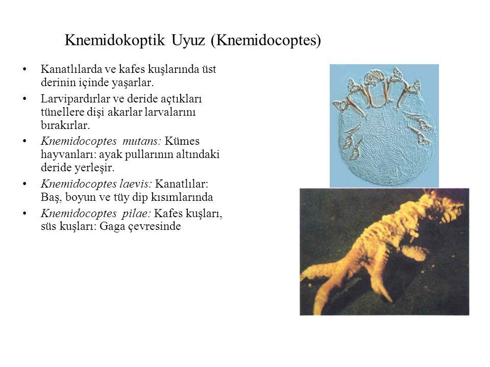 Knemidokoptik Uyuz (Knemidocoptes) Kanatlılarda ve kafes kuşlarında üst derinin içinde yaşarlar. Larvipardırlar ve deride açtıkları tünellere dişi aka