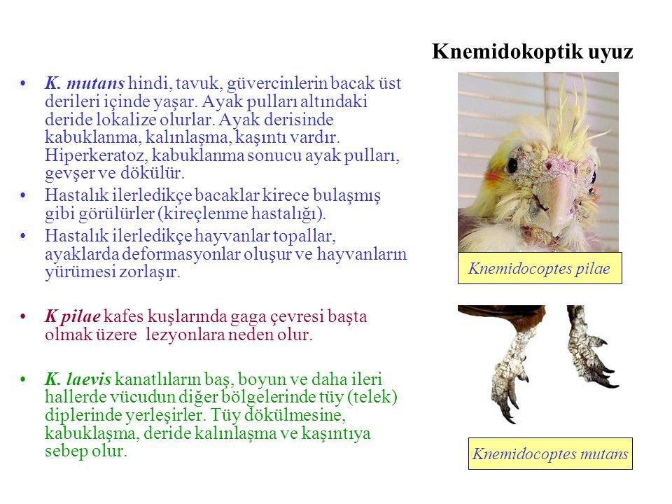 Knemidokoptik uyuz K. mutans hindi, tavuk, güvercinlerin bacak üst derileri içinde yaşar. Ayak pulları altındaki deride lokalize olurlar. Ayak derisin