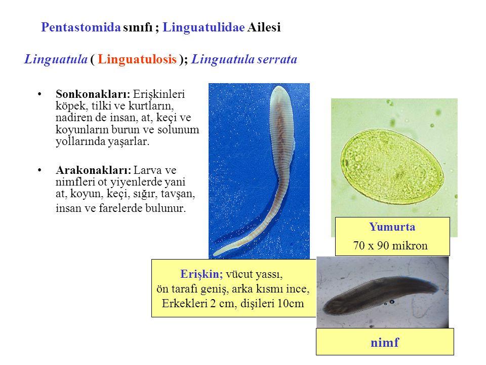 Pentastomida sınıfı ; Linguatulidae Ailesi Linguatula ( Linguatulosis ); Linguatula serrata Sonkonakları: Erişkinleri köpek, tilki ve kurtların, nadir