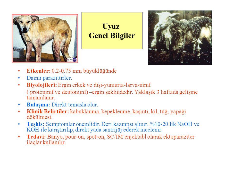 Demodektik Uyuz, Demodicosis D.folliculorum, D.brevis: İnsan D.