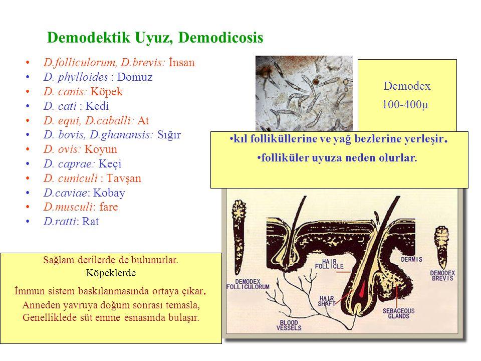 Demodex canis Kıl Kıl follikülü ve Demodex akarı Yağ bezi ve Demodex etkeni Deri kesiti Erişkin Demodex Kıl dökülmesi, Kabuklanma, kaşıntı Demodex'ler normal sağlıklı deride de az sayıda bulunabilir.