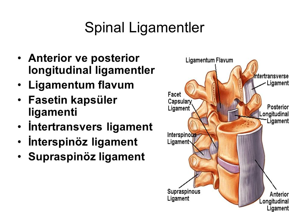 Spinal Ligamentler Anterior ve posterior longitudinal ligamentler Ligamentum flavum Fasetin kapsüler ligamenti İntertransvers ligament İnterspinöz lig