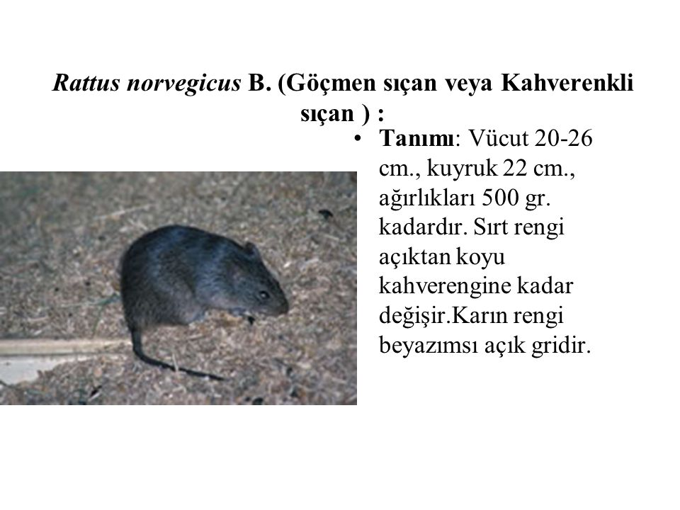 Rattus norvegicus B. (Göçmen sıçan veya Kahverenkli sıçan ) : Tanımı: Vücut 20-26 cm., kuyruk 22 cm., ağırlıkları 500 gr. kadardır. Sırt rengi açıktan
