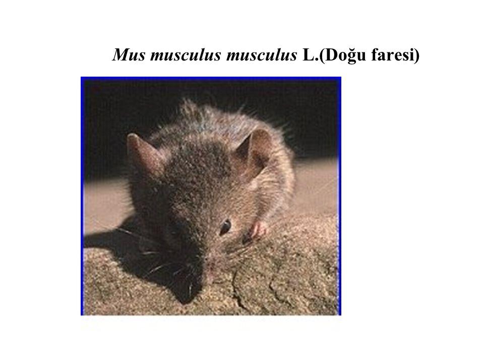 Mus musculus musculus L.(Doğu faresi)