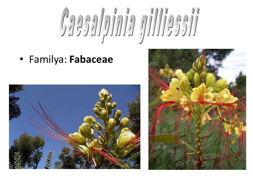 Familya: Fabaceae