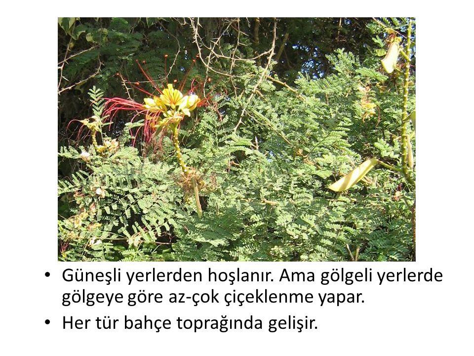Güneşli yerlerden hoşlanır. Ama gölgeli yerlerde gölgeye göre az-çok çiçeklenme yapar. Her tür bahçe toprağında gelişir.