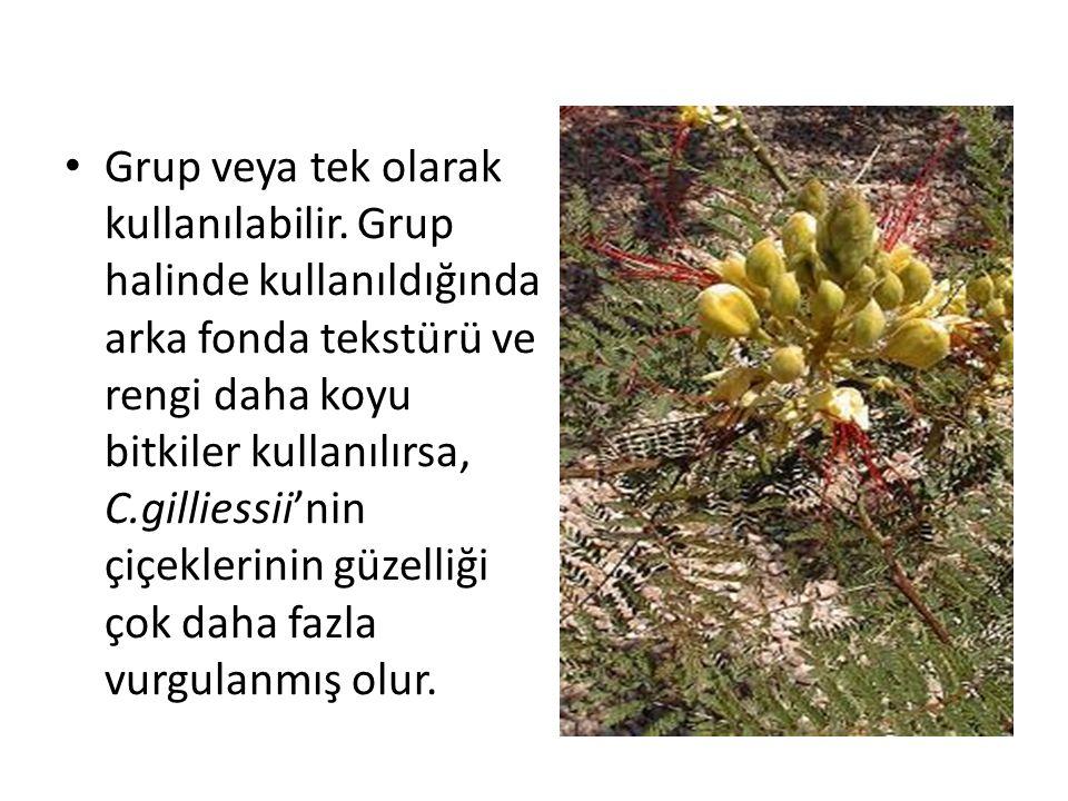 Grup veya tek olarak kullanılabilir. Grup halinde kullanıldığında arka fonda tekstürü ve rengi daha koyu bitkiler kullanılırsa, C.gilliessii'nin çiçek