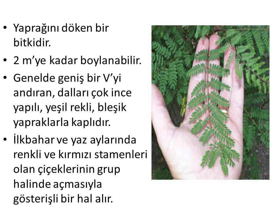 Yaprağını döken bir bitkidir. 2 m'ye kadar boylanabilir. Genelde geniş bir V'yi andıran, dalları çok ince yapılı, yeşil rekli, bleşik yapraklarla kapl