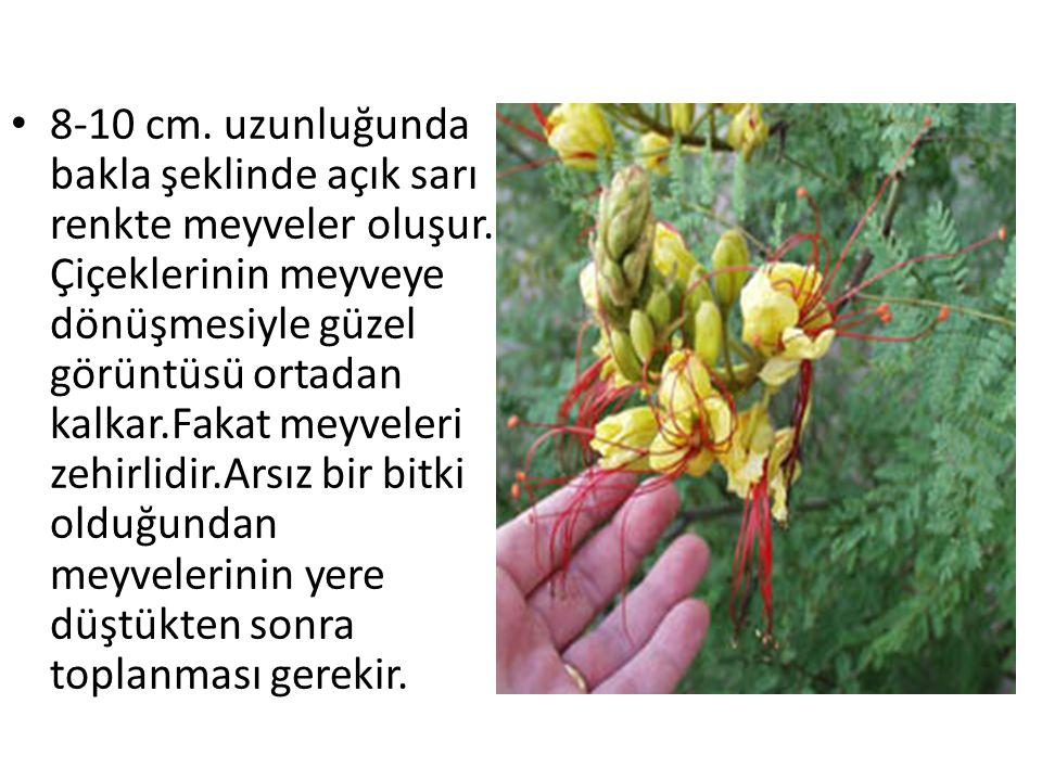8-10 cm. uzunluğunda bakla şeklinde açık sarı renkte meyveler oluşur. Çiçeklerinin meyveye dönüşmesiyle güzel görüntüsü ortadan kalkar.Fakat meyveleri