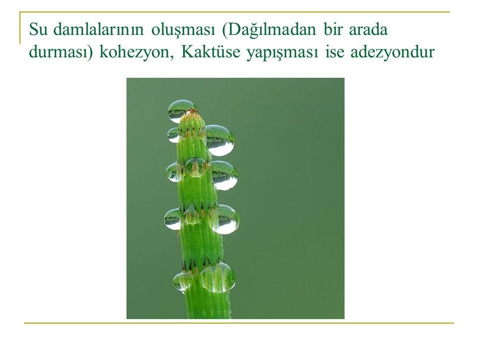 Su damlalarının oluşması (Dağılmadan bir arada durması) kohezyon, Kaktüse yapışması ise adezyondur