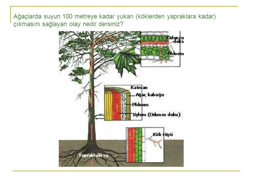 Ağaçlarda suyun 100 metreye kadar yukarı (köklerden yapraklara kadar) çıkmasını sağlayan olay nedir dersiniz?