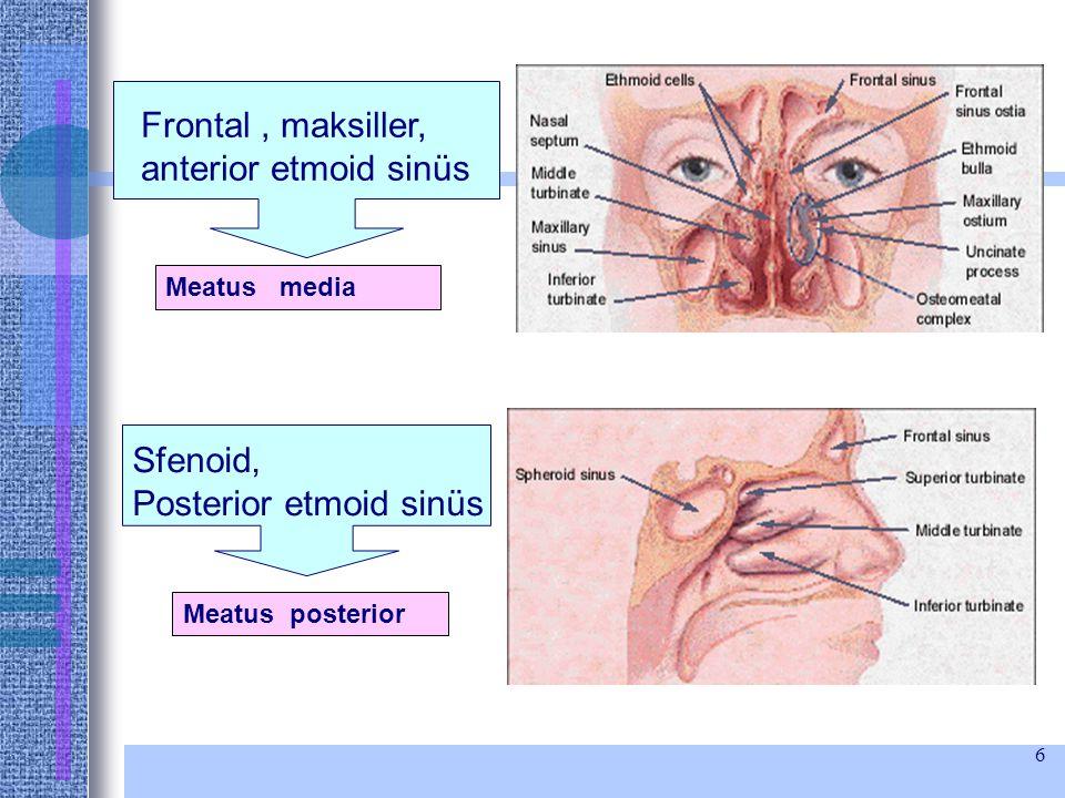 6 Frontal, maksiller, anterior etmoid sinüs Meatus media Sfenoid, Posterior etmoid sinüs Meatus posterior