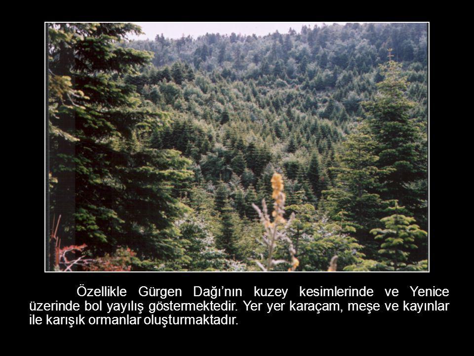 Özellikle Gürgen Dağı'nın kuzey kesimlerinde ve Yenice üzerinde bol yayılış göstermektedir. Yer yer karaçam, meşe ve kayınlar ile karışık ormanlar olu