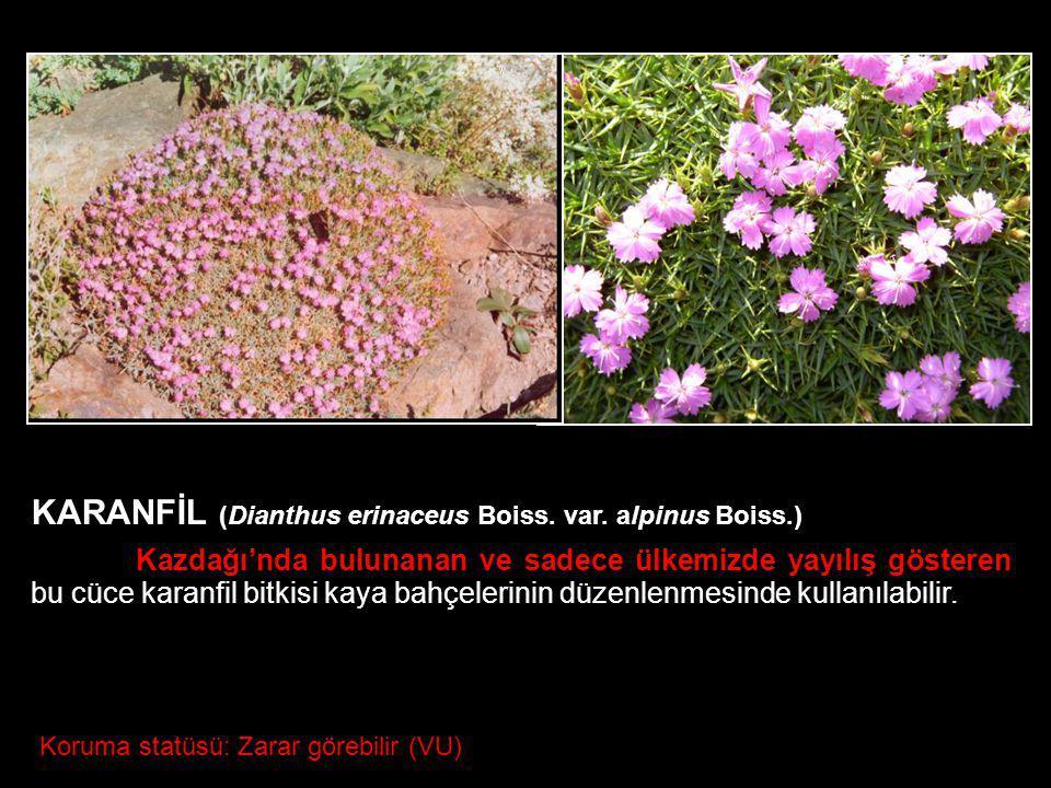KARANFİL (Dianthus erinaceus Boiss. var. alpinus Boiss.) Kazdağı'nda bulunanan ve sadece ülkemizde yayılış gösteren bu cüce karanfil bitkisi kaya bahç
