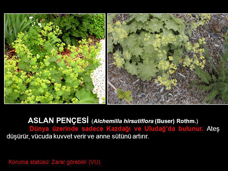 ASLAN PENÇESİ (Alchemilla hirsutiflora (Buser) Rothm.) Dünya üzerinde sadece Kazdağı ve Uludağ'da bulunur. Ateş düşürür, vücuda kuvvet verir ve anne s