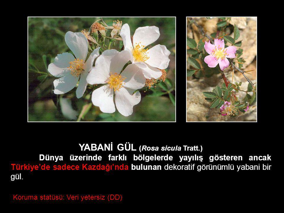 Koruma statüsü: Veri yetersiz (DD) YABANİ GÜL (Rosa sicula Tratt.) Dünya üzerinde farklı bölgelerde yayılış gösteren ancak Türkiye'de sadece Kazdağı'n