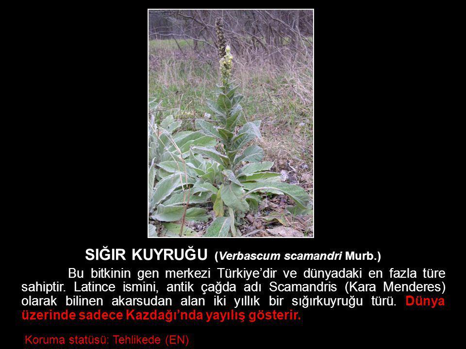 Koruma statüsü: Tehlikede (EN) SIĞIR KUYRUĞU (Verbascum scamandri Murb.) Bu bitkinin gen merkezi Türkiye'dir ve dünyadaki en fazla türe sahiptir. Lati