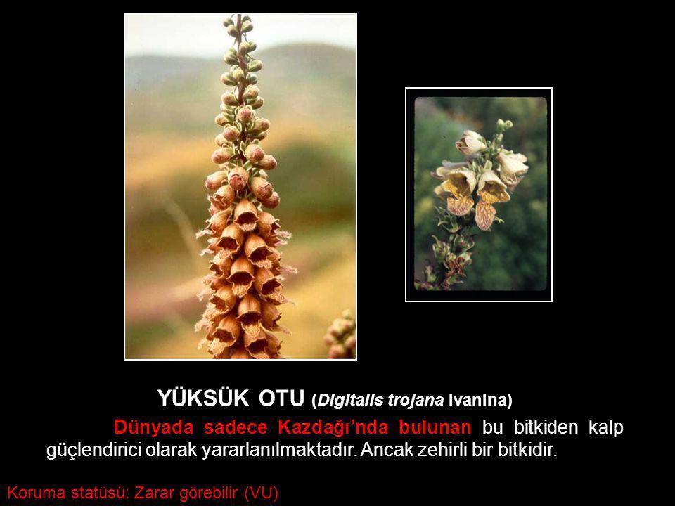 YÜKSÜK OTU (Digitalis trojana Ivanina) Dünyada sadece Kazdağı'nda bulunan bu bitkiden kalp güçlendirici olarak yararlanılmaktadır. Ancak zehirli bir b