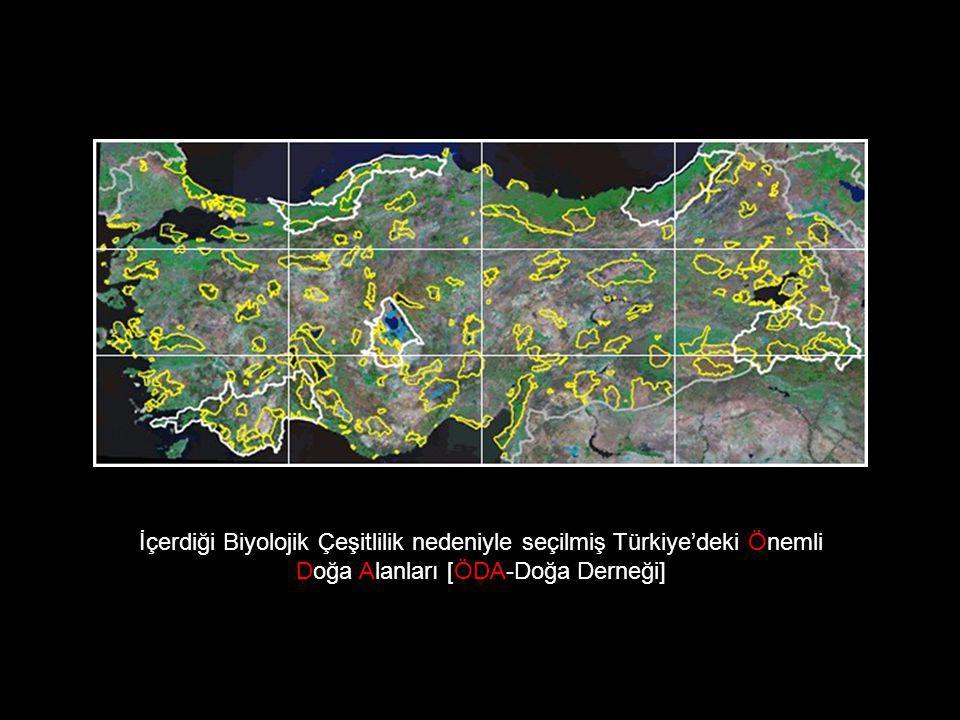 İRİ YEŞİL KERTENKELE (Lacerta trilineata) Ülkemizde Trakya, Batı Karadeniz, Marmara, Orta Anadolu'nun Batısı, Batı Akdeniz ve Ege Bölgesine yayılır.