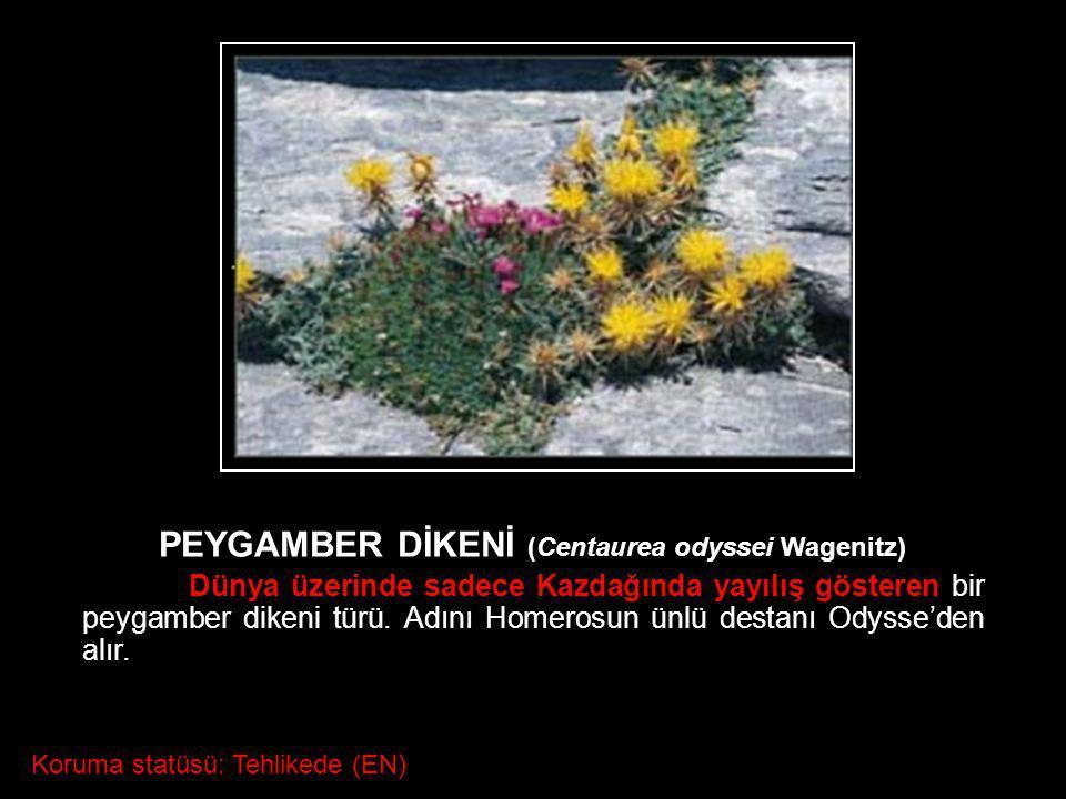 PEYGAMBER DİKENİ (Centaurea odyssei Wagenitz) Dünya üzerinde sadece Kazdağında yayılış gösteren bir peygamber dikeni türü. Adını Homerosun ünlü destan