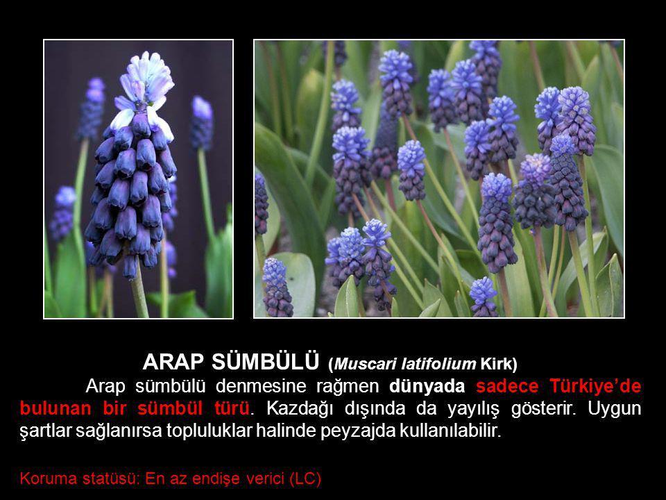 ARAP SÜMBÜLÜ (Muscari latifolium Kirk) Arap sümbülü denmesine rağmen dünyada sadece Türkiye'de bulunan bir sümbül türü. Kazdağı dışında da yayılış gös