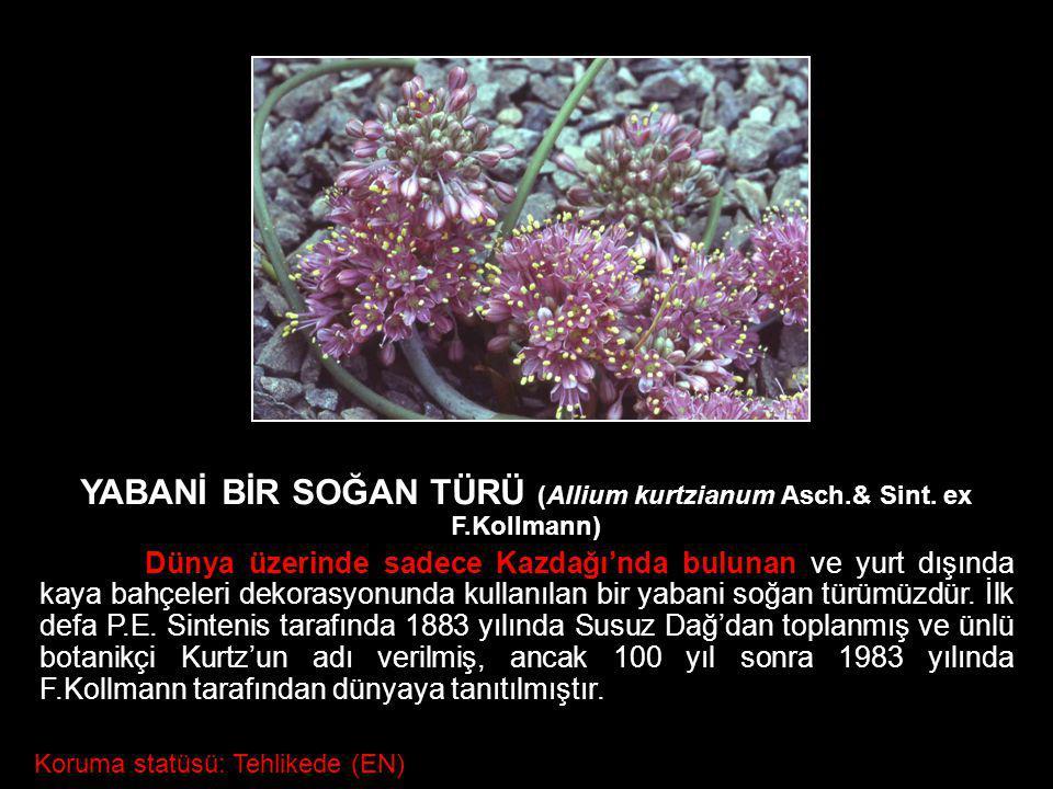 YABANİ BİR SOĞAN TÜRÜ (Allium kurtzianum Asch.& Sint. ex F.Kollmann) Dünya üzerinde sadece Kazdağı'nda bulunan ve yurt dışında kaya bahçeleri dekorasy