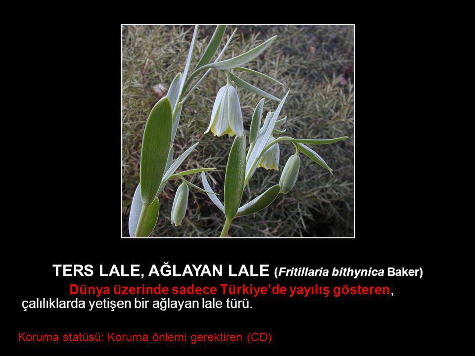 TERS LALE, AĞLAYAN LALE (Fritillaria bithynica Baker) Dünya üzerinde sadece Türkiye'de yayılış gösteren, çalılıklarda yetişen bir ağlayan lale türü. K