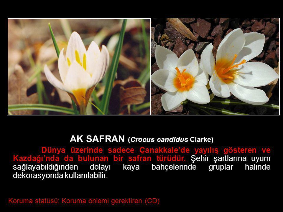 AK SAFRAN (Crocus candidus Clarke) Dünya üzerinde sadece Çanakkale'de yayılış gösteren ve Kazdağı'nda da bulunan bir safran türüdür. Şehir şartlarına