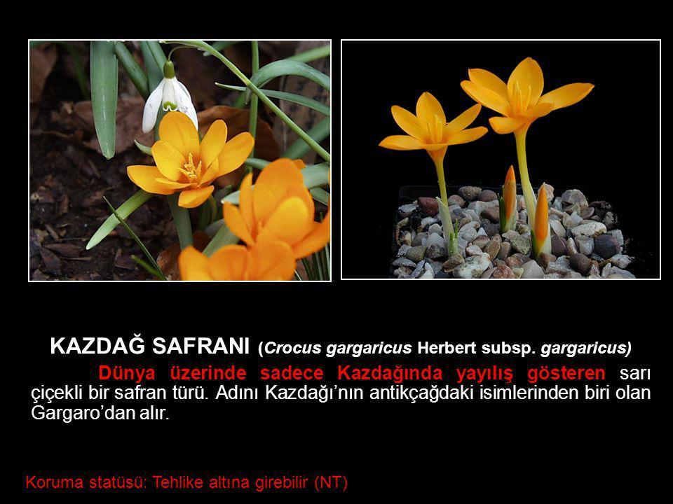 Crocus gargaricus Herbert subsp. gargaricus KAZDAĞ SAFRANI (Crocus gargaricus Herbert subsp. gargaricus) Dünya üzerinde sadece Kazdağında yayılış göst