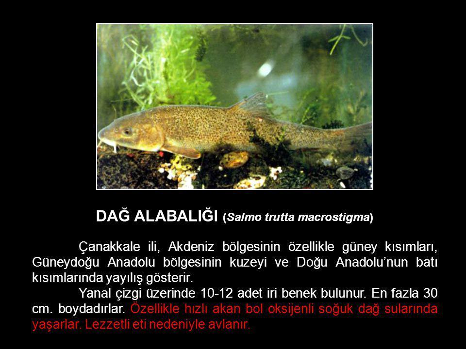 DAĞ ALABALIĞI (Salmo trutta macrostigma) Çanakkale ili, Akdeniz bölgesinin özellikle güney kısımları, Güneydoğu Anadolu bölgesinin kuzeyi ve Doğu Anad